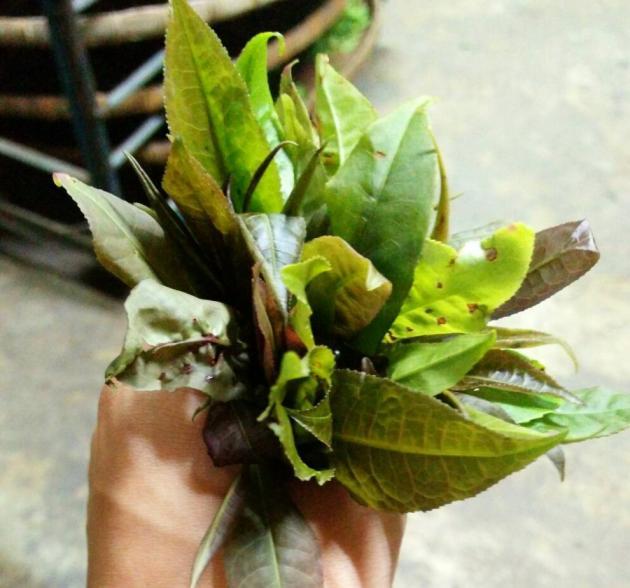 六龜原生種喬木野蜜紅茶 4